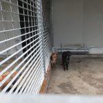 COCCOLA  tipo Labrador timida