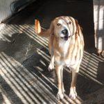STELLA   incr. Labrador  bionda