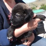 AZYRA cucciolina dolce nata marzo 2017  ADOTTATA