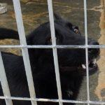MANDY  tipo Labrador bella e affettuosa