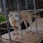 STEPHANIE  bella Labrador  - ADOZIONE URGENTE ! - VIDEO